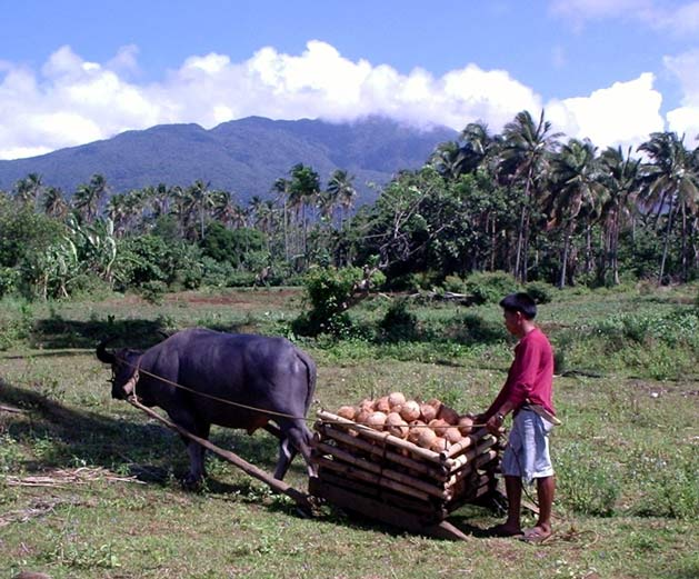 photo of carabao transporting coconuts to make virgin coconut oil