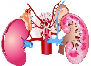 image showing location of adrenal glands above the kidneys