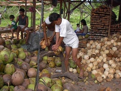 dehusking_organic_coconuts_virgin_coconut_oil