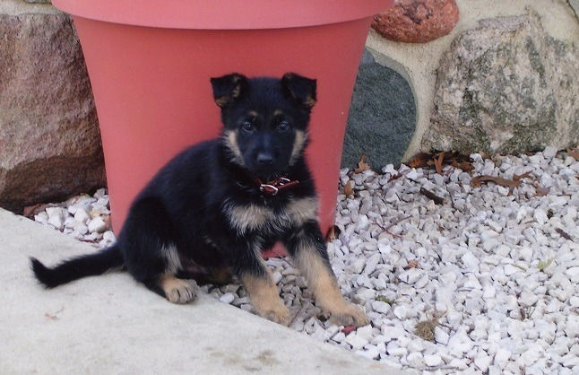 My German Shepherd as a puppy over 10 years ago.