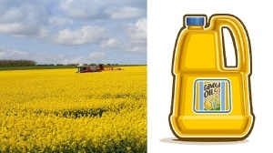 Crop-Sprayer-And-Oilseed-Rape-to-make-canola-oil-300x168