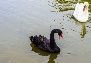 Black-And-White-Swan-300x208